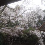 吉野山の春